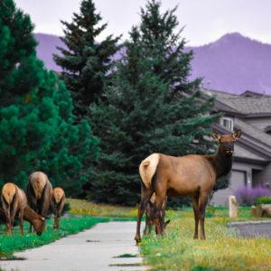 Elk 2 36x24 canvas